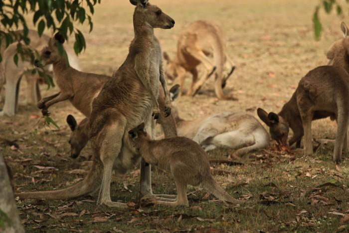 Kangaroos Lake Eacham