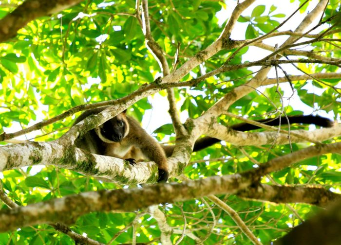 Lumholtz Tree Kangaroo seen on rainforest tour